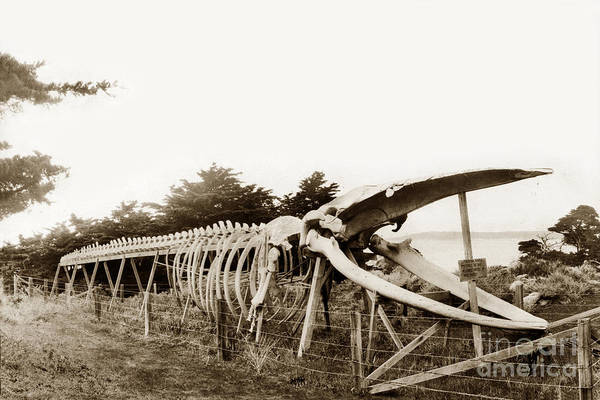 Photograph - Finback Whale Skeleton Erected By Japanese Abalone Divers At Point Lobos C. 1908 by California Views Archives Mr Pat Hathaway Archives