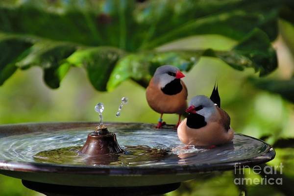 Photograph - Finch Bath  by Jacqueline Faust