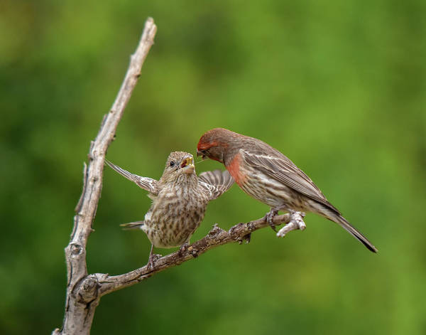 House Finch Photograph - Finch Feeding Time I by Linda Brody