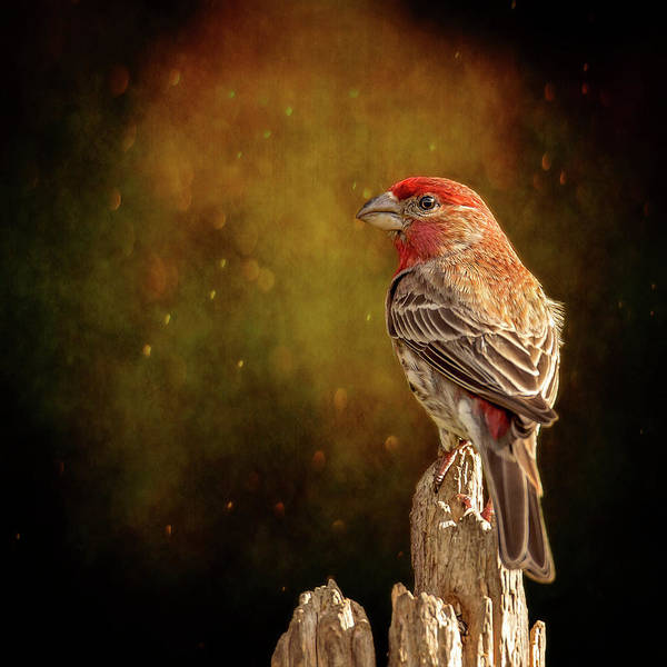 Wall Art - Photograph - Finch From The Back by Bill Tiepelman