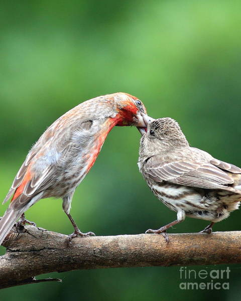 Photograph - Finch Kiss by Wingsdomain Art and Photography