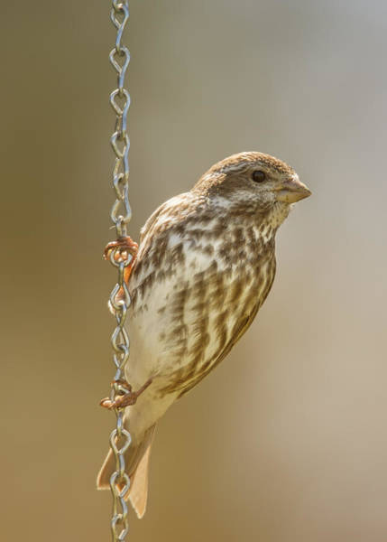Wall Art - Photograph - Finch On Chains by Bill Tiepelman