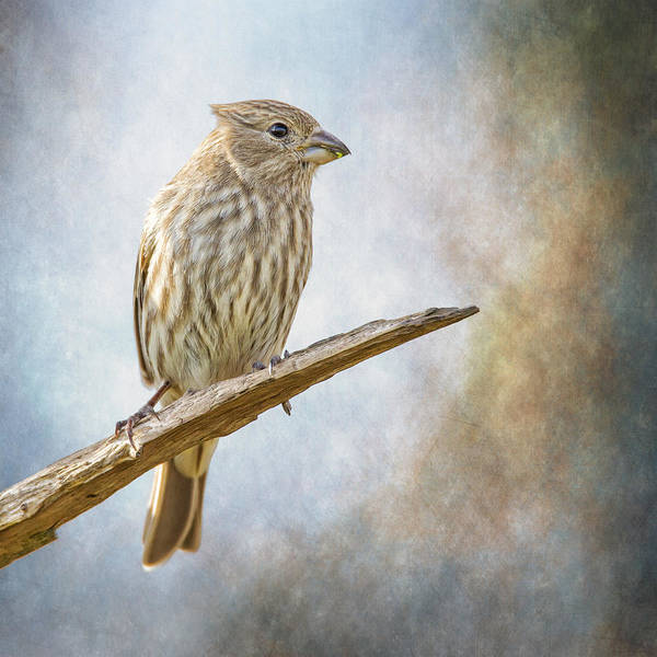 Wall Art - Photograph - Finch Perched On Blues by Bill Tiepelman