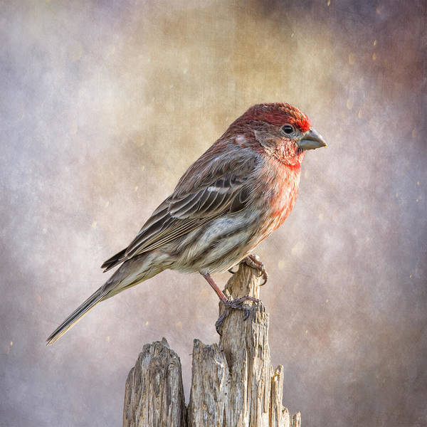 Wall Art - Photograph - Finch Posted On Top by Bill Tiepelman