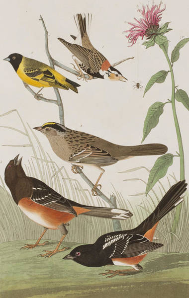 Bunting Painting - Finches by John James Audubon