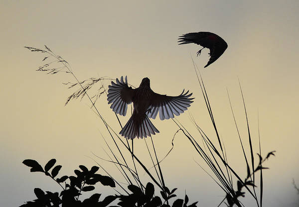 Bird In Flight Digital Art - Finches Silhouette With Leaves 3 by Linda Brody