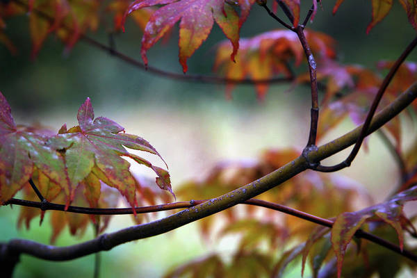 Photograph - Fine Branches And Jeweled Leaves 5584 H_2 by Steven Ward