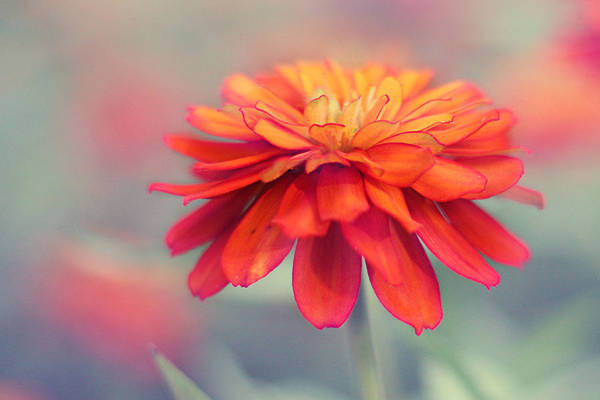 Dahlias Photograph - Fire And Ice by Amy Tyler
