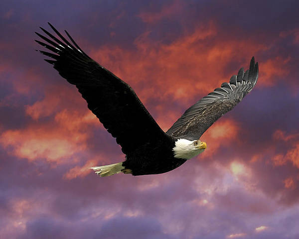 Flying Eagle Photograph - Fire Cloud And Eagle by Clarence Alford