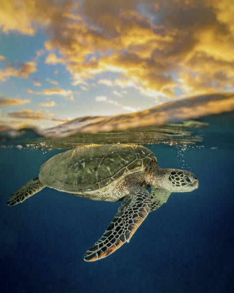 Turtle Photograph - Fire Honu by Drew Sulock