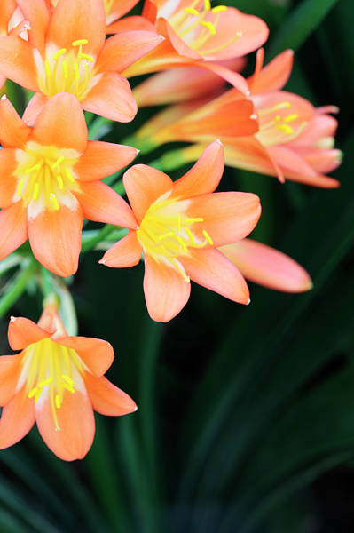 Clivia Wall Art - Photograph - Fire Lily 2 by Neil Overy