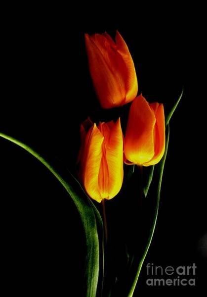 Fire Tulips Art Print by Valia Bradshaw