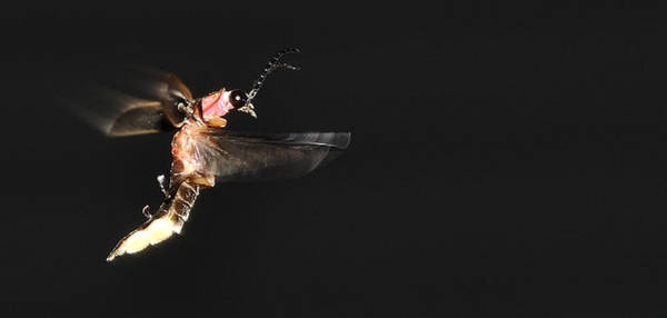 Photograph - Firefly In Flight by Mark Fuller