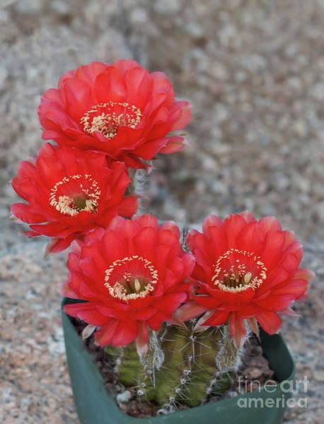 Wall Art - Photograph - Firelight Cactus Flower Times Four by Ruth Jolly