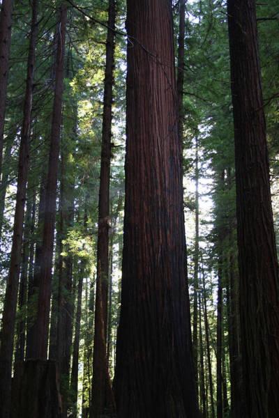 Photograph - Firemark Redwoods II by Dylan Punke