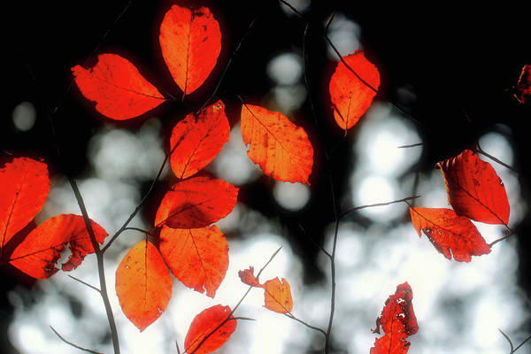 Photograph - Fires Of Autumn by Susan Maxwell Schmidt