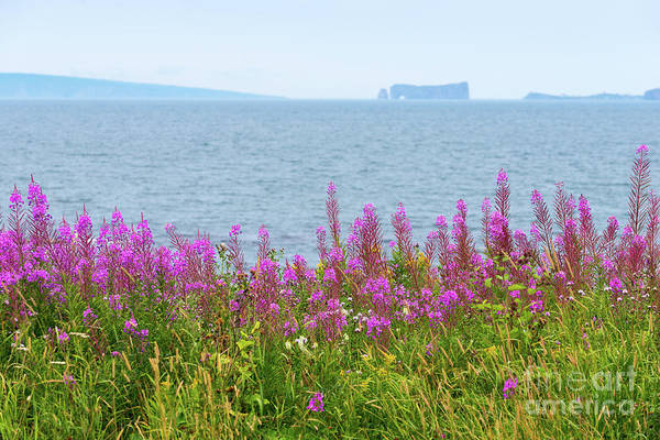 Photograph - Fireweed Flowers Against The Perce Rock by Les Palenik