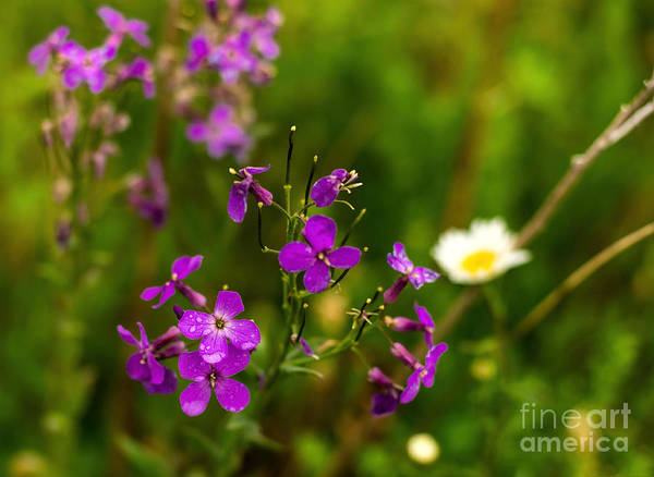 Photograph - Fireweed Flowers With Raindrops by Les Palenik