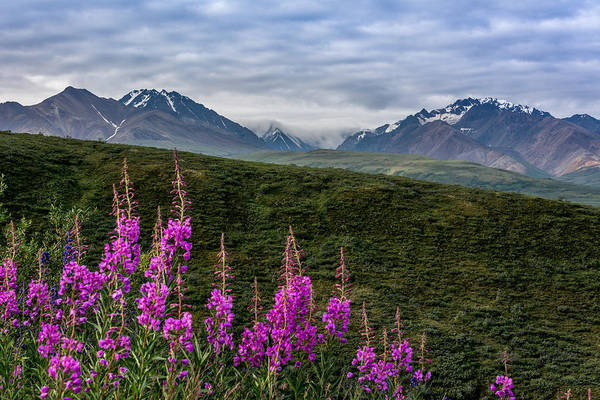 Photograph - Fireweed In Denali by Claudia Abbott