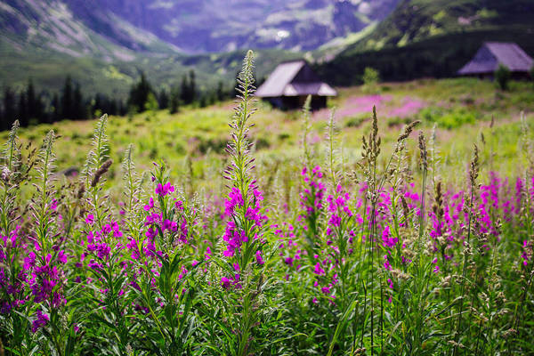 High Tatras Wall Art - Photograph - Fireweed In The Mountains by Pati Photography