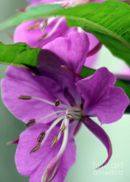 Photograph - Fireweed by James Reed