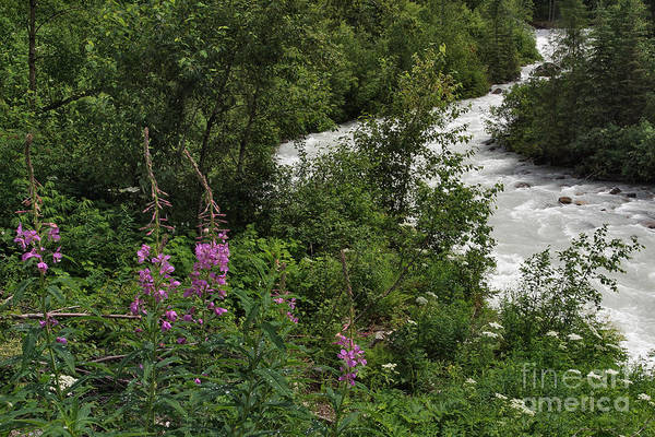 Photograph - Fireweed Near The Robson River by Charles Kozierok