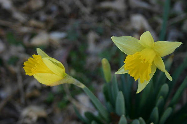 Dafodil Photograph - First Blooms by Nina Fosdick