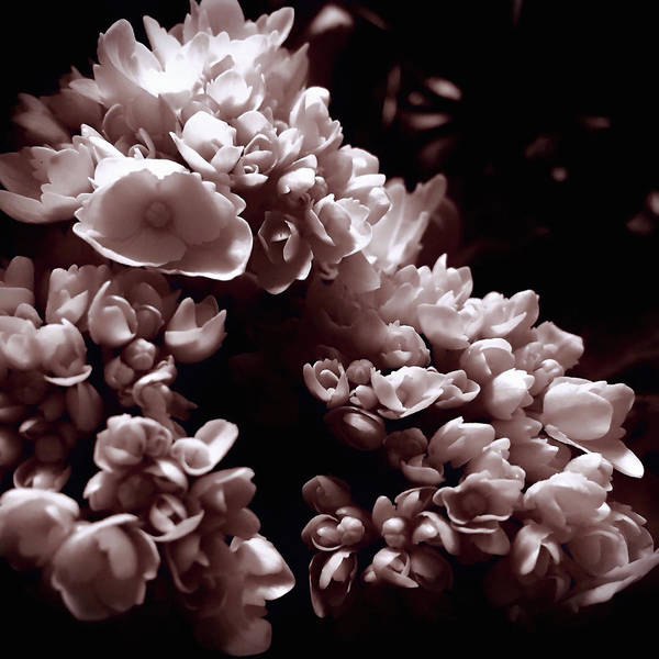 Photograph - First Blush by Susan Maxwell Schmidt