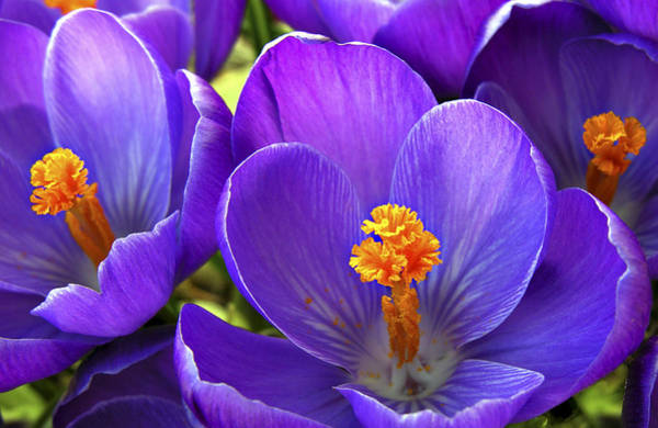Photograph - First Crocus by Marilyn Hunt