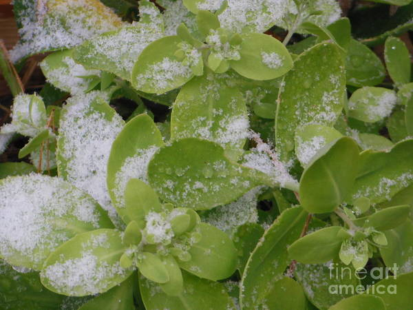 Photograph - First Dusting Of Snow Plant by Rockin Docks Deluxephotos