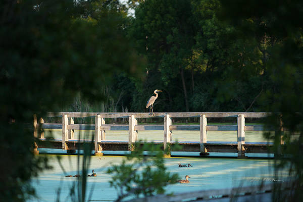 Photograph - First Glimpse Great Blue Heron by Edward Peterson