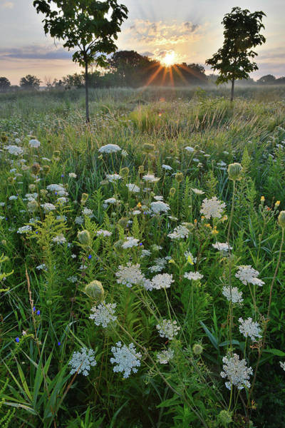 Photograph - First Light On Queen Anne's Lace In Lakewood by Ray Mathis