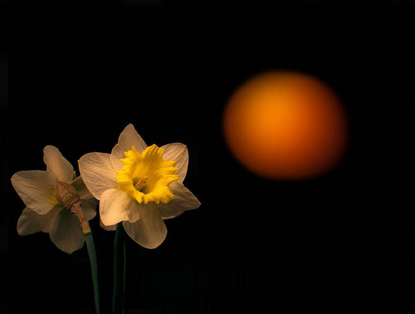 Daffodils Photograph - First Look by Don Spenner