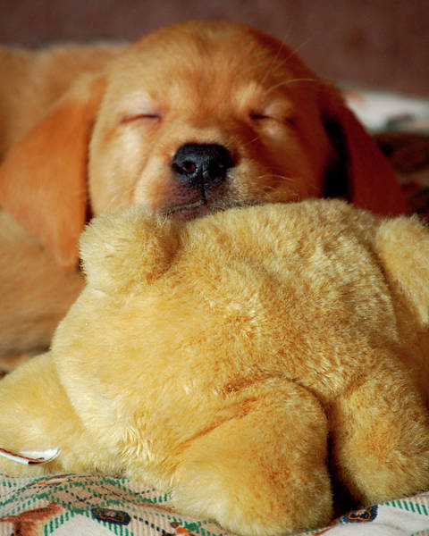 Diane Berry Photograph - First Puppy Snooze by Diane E Berry
