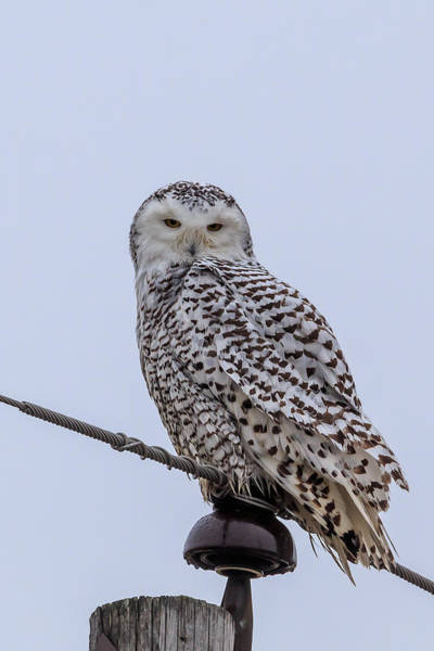 Photograph - First Snowy Owl by Paul Schultz