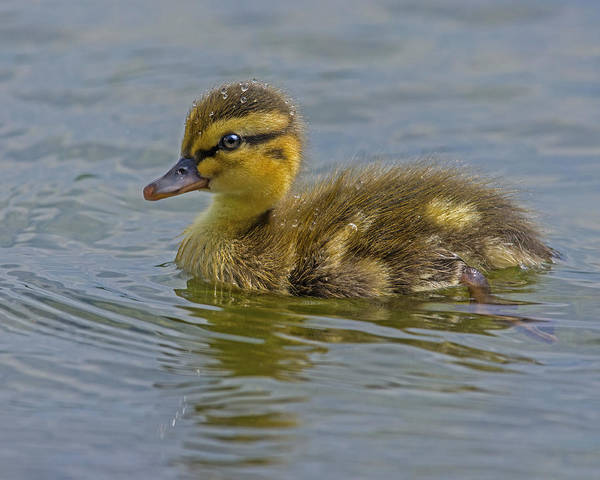 Photograph - First Swim by Tony Beck