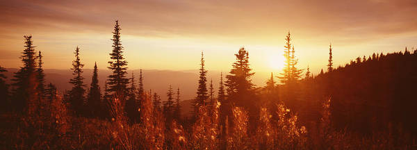 Thicket Photograph - Firweed At Sunset, Whitefish, Montana by Panoramic Images