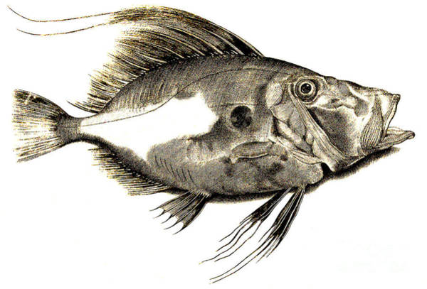 Gill Drawing - Fish by Antonio Lafreri