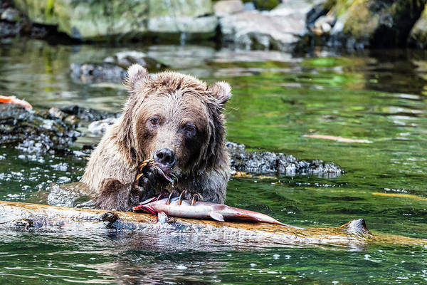 Grizzly Bear Photograph - Fish At The Dinner Table by Ian Stotesbury