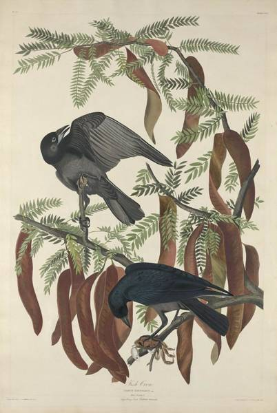Raven Drawing - Fish Crow by Dreyer Wildlife Print Collections