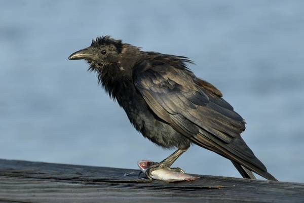 Photograph - Fish Crow With Fish by Bradford Martin