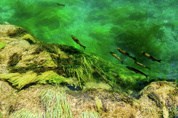 Photograph - Fish From Above, Krka National Park, Croatia  by Global Light Photography - Nicole Leffer