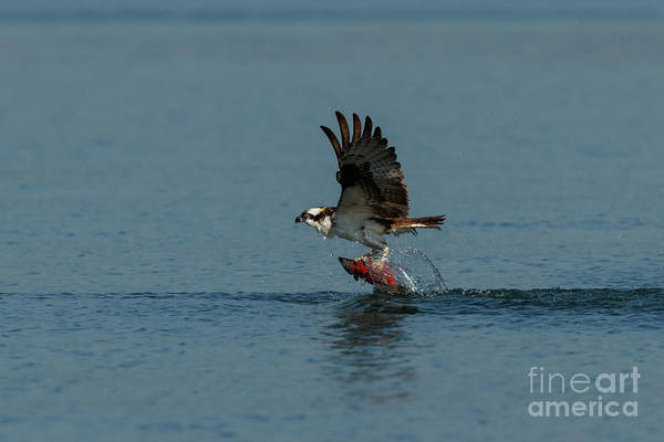 Photograph - Fish On The Talons by Beve Brown-Clark Photography