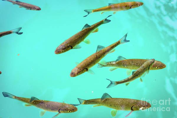 Fish School In Turquoise Lake - Plitvice Lakes National Park, Croatia Art Print