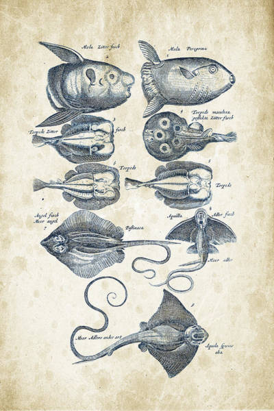 Wall Art - Digital Art - Fish Species Historiae Naturalis 08 - 1657 - 09 by Aged Pixel