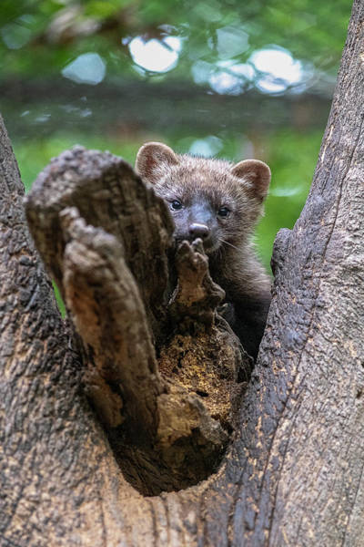 Photograph - Fisher Looking Through Fork In Tree by Dan Friend