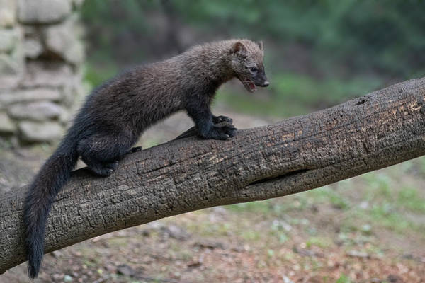 Photograph - Fisher Out On Limb by Dan Friend