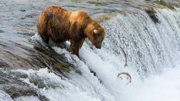 Painting - Fishing Brown Bear At Brooks Falls, Katmai National Park by Artistic Panda