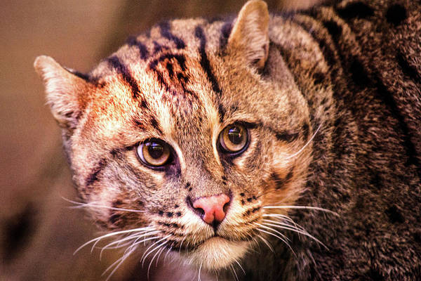 Photograph - Fishing Cat -- National Zoo by Don Johnson