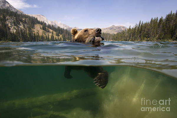 Above And Below Wall Art - Photograph - Fishing Grizzly by Jean-Louis Klein & Marie-Luce Hubert